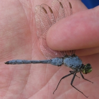 New London Dragonfly species taken on the Deming property in September 2011