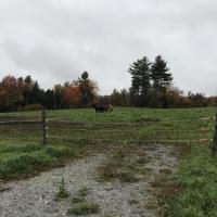 Field horses